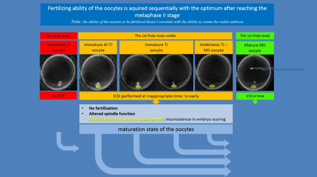 Maturation of Oocytes during IVF